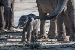 Baby_elephant_Zoo_Cologne_D50_2750
