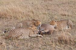 Geparden auf Jagd_IGB3053