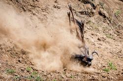 Gnu   Wildebeest_IWG4395