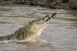 Krokodil frisst Zebra_D726837