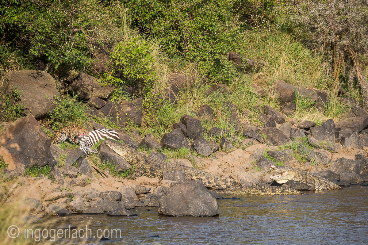 Leopard_Krokodil_Zebra_D4N_4463