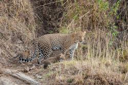 Mama Leopard mit ihren Babys_IG35699