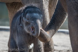 Baby_elephant_Zoo_Cologne_D50_2829