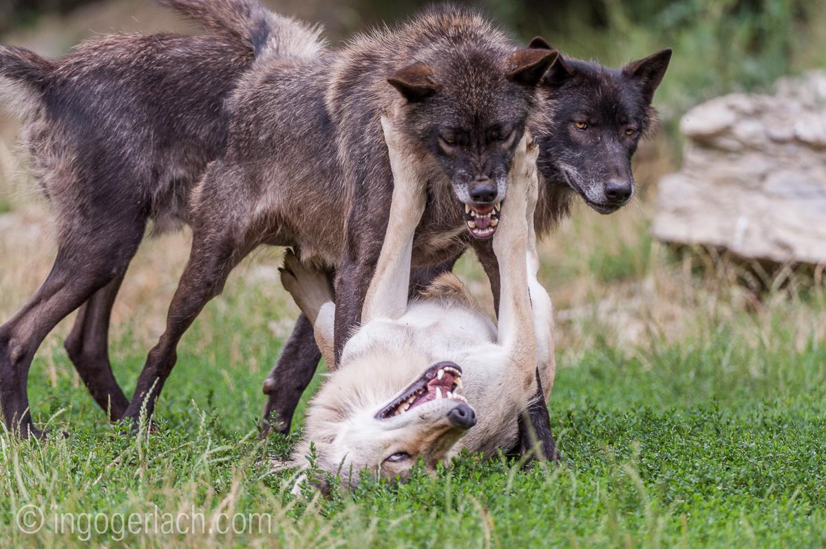 Timberwolf und Grauwolf_IGB8085