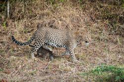 Mama Leopard mit ihren Babys_IG35650