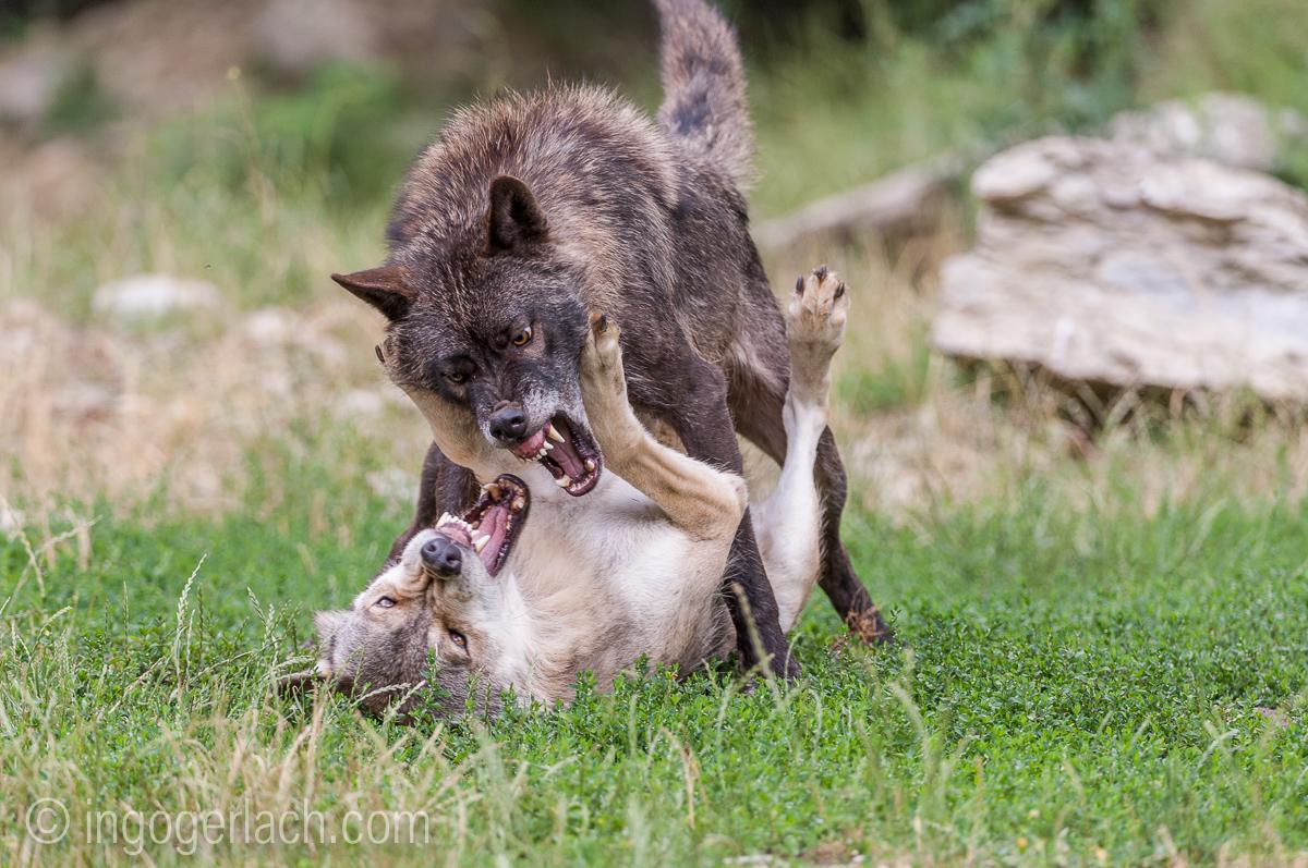 Timberwolf und Grauwolf_IGB8093