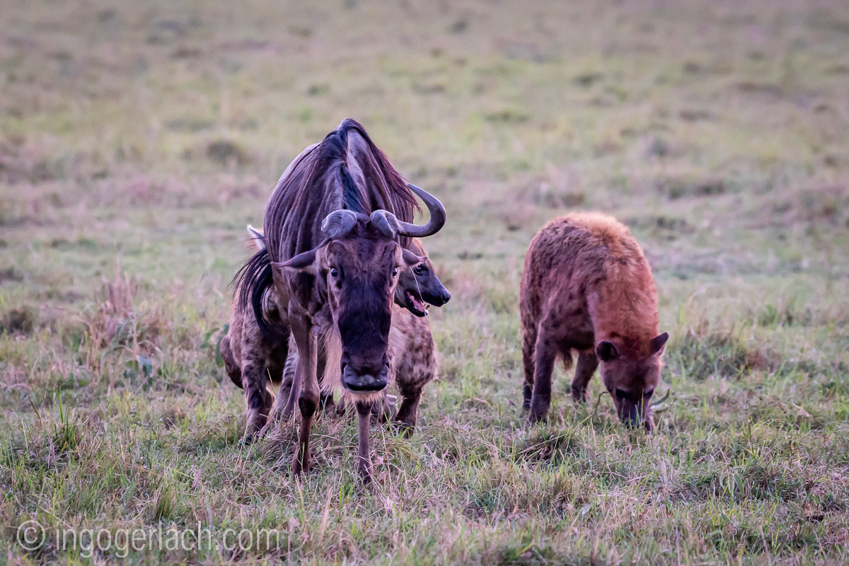 A lucky wildebeest - or the stronger one wins.