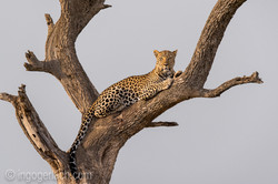 Leopard_IG7_3387