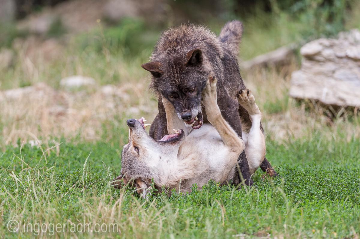 Timberwolf und Grauwolf_IGB8092