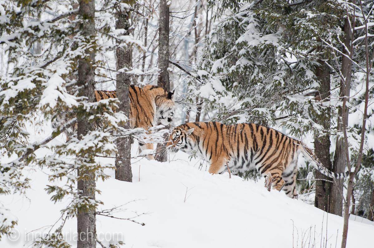 Sibirischer Tiger_IG34787