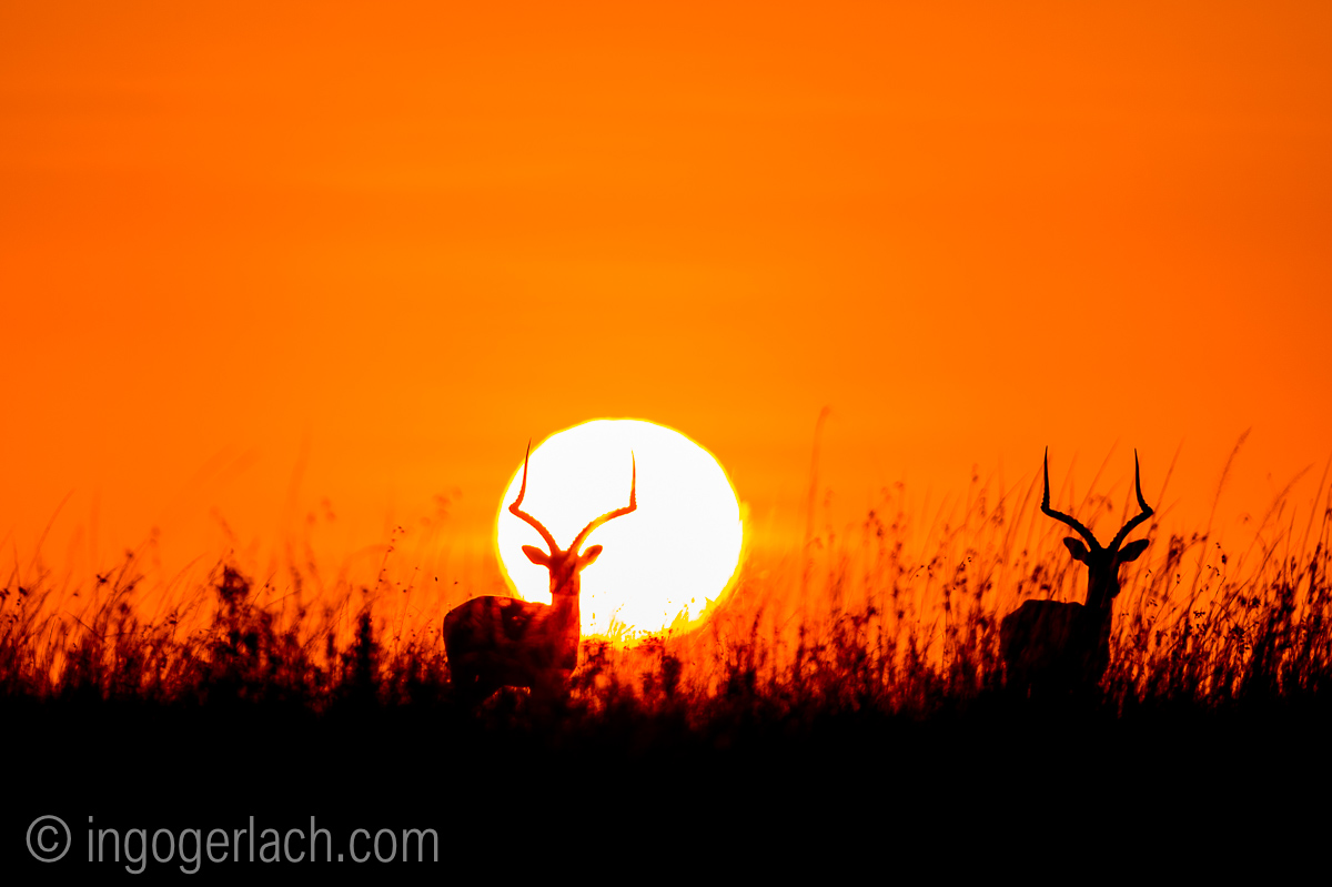 Impala at sunrise_D4N_2640