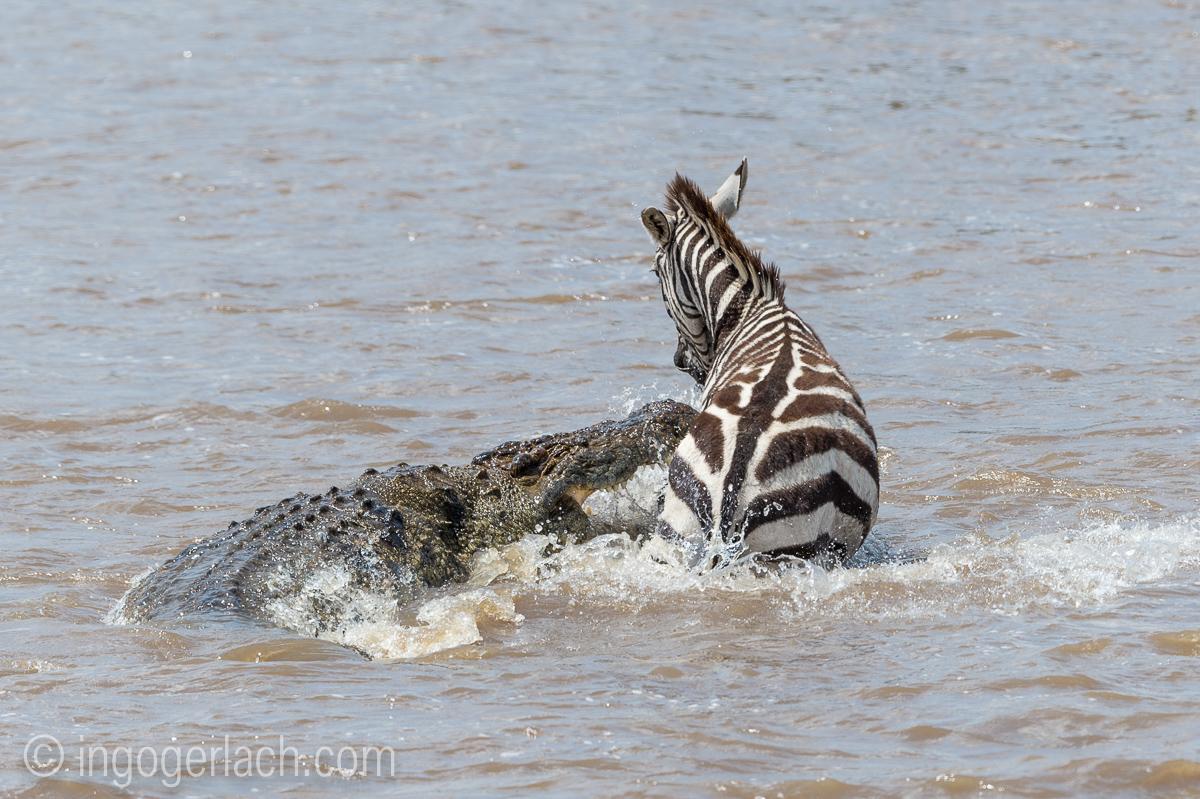 Krokodil killt Zebra_D4N_4659