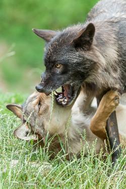 Timberwolf und Grauwolf_IGB8004