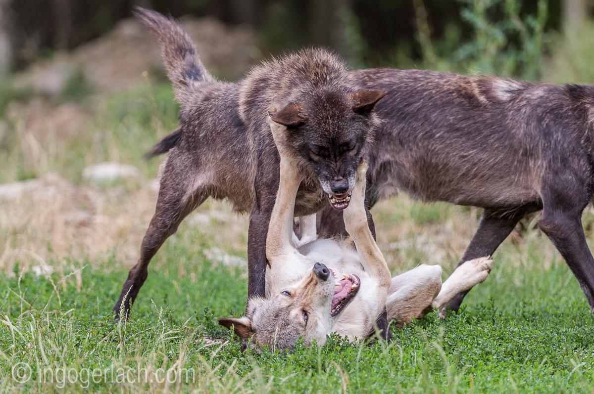 Timberwolf und Grauwolf_IGB8086