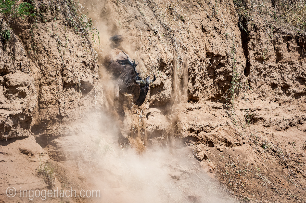 wildebeest jump to death_IWG4409