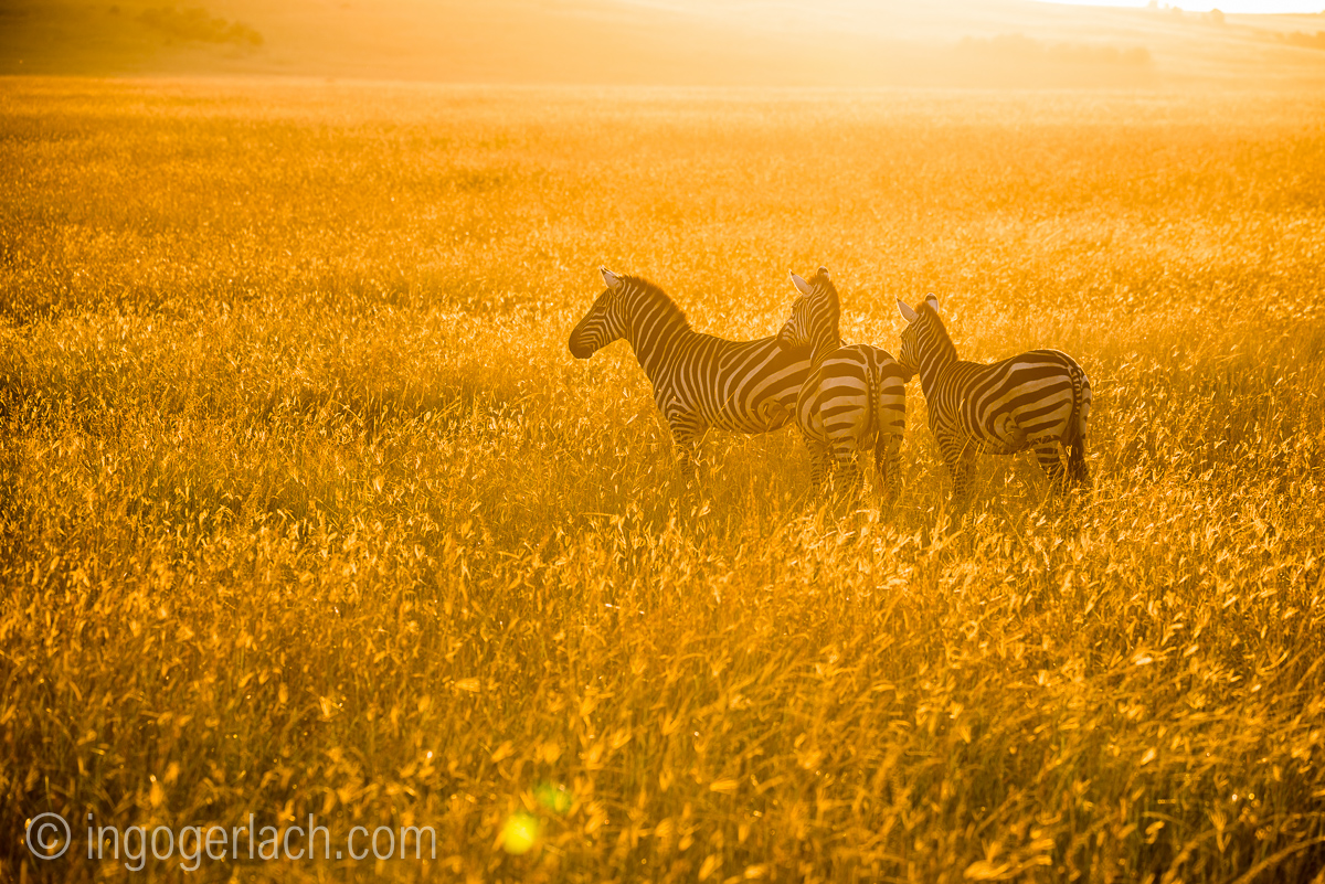 Zebras at sunrise in the Masai Mara
