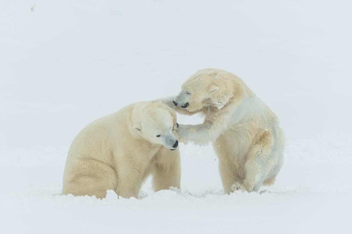 Eisbären © Ingo Gerlach_DSC0571-2