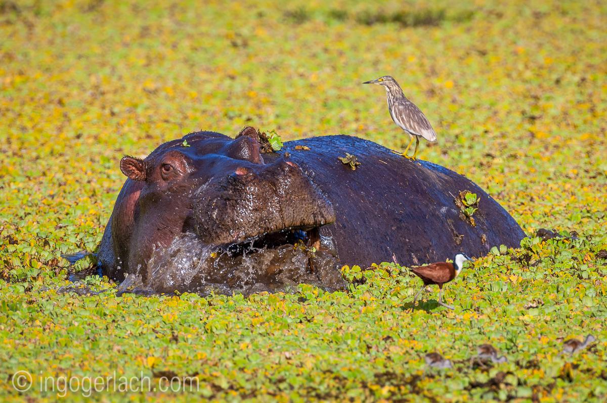 Flusspferd im Salat_IWG0064