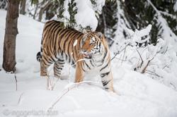 Sibirischer Tiger_IG34655