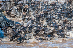 The great Migration_IG36142