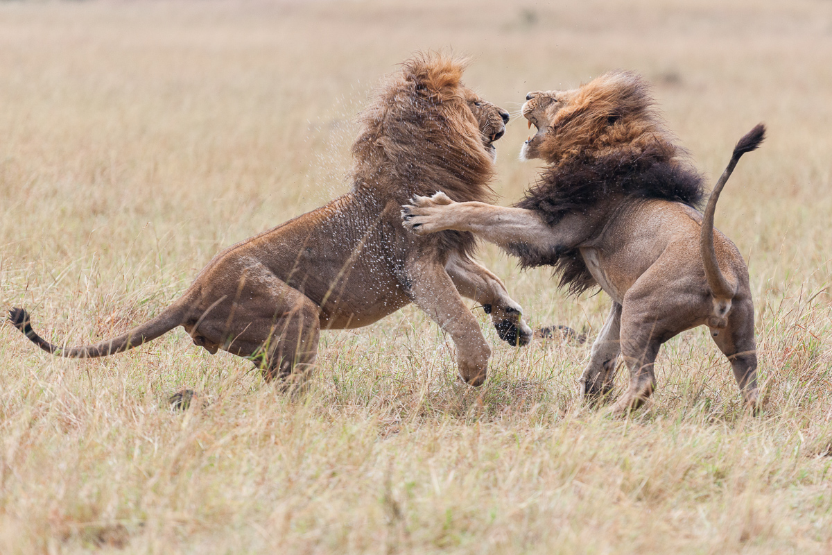 Fighting Male Lions...