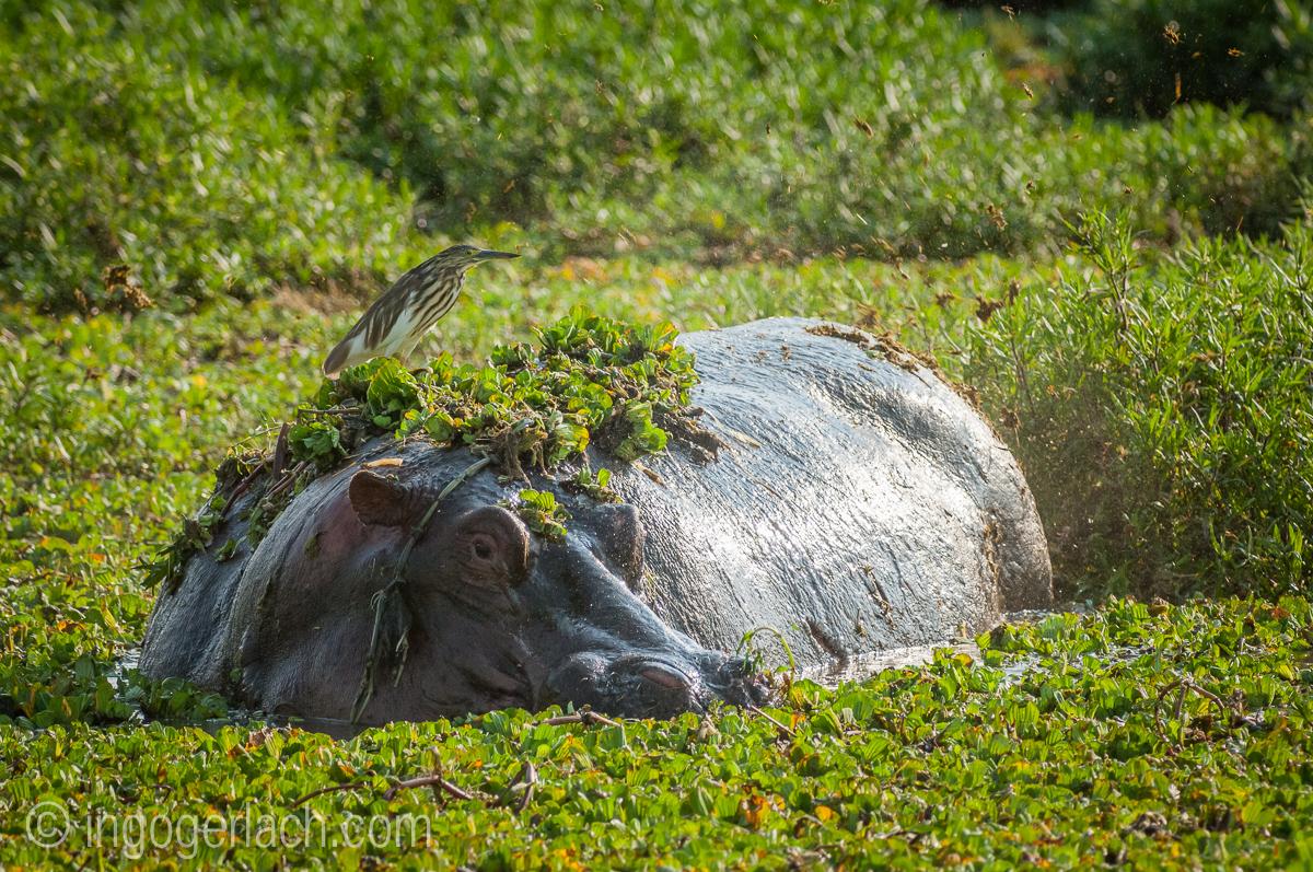Flusspferd im Salat_IWG4531