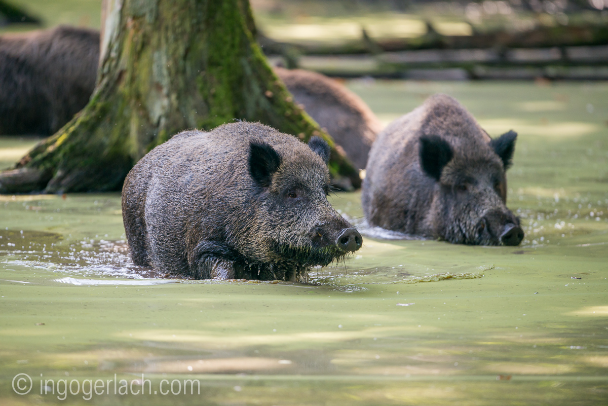 Wildschwein im Wasser_D8N2844