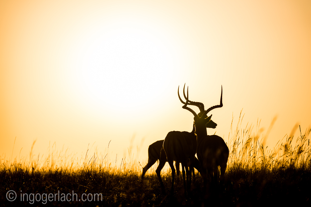 Impala at sunrise_D4N_2752