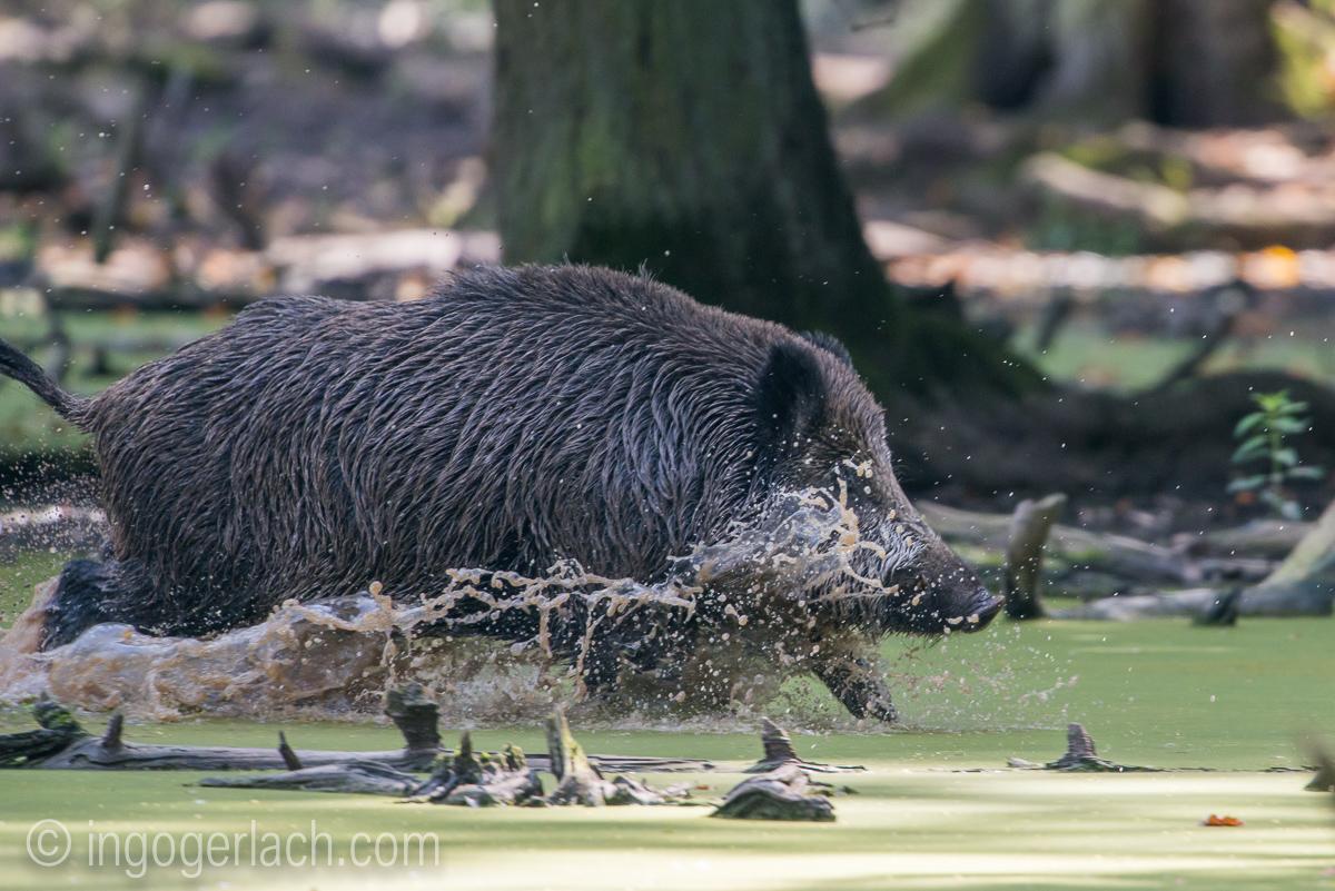 Wildschwein im Wasser_D8N2920