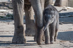Baby_elephant_Zoo_Cologne_D50_2772