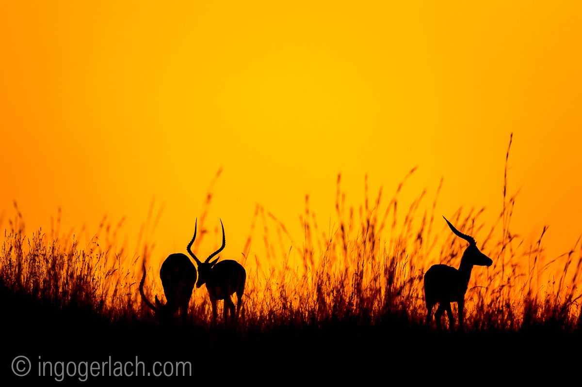 Impala at sunrise_D4N_2611