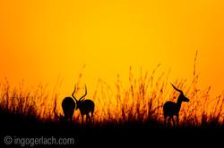 Impala at sunrise_D4N_2611
