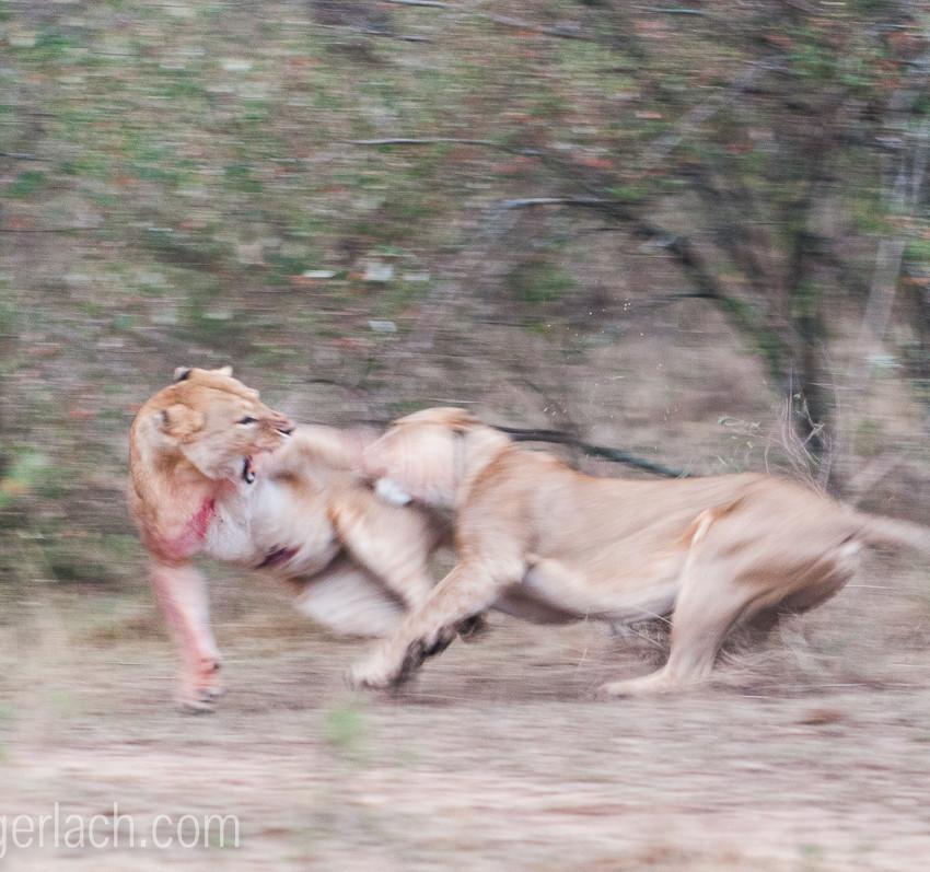 Löwin attackiert Löwin_IGB2607