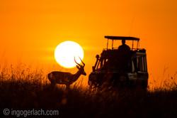 Impala at sunrise_D4N_2626