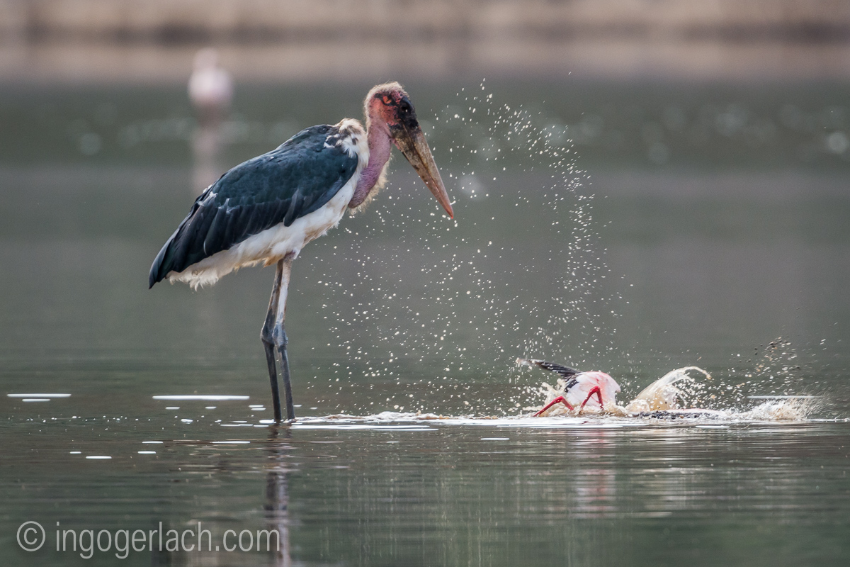 Marabu vs Flamingo_D722095
