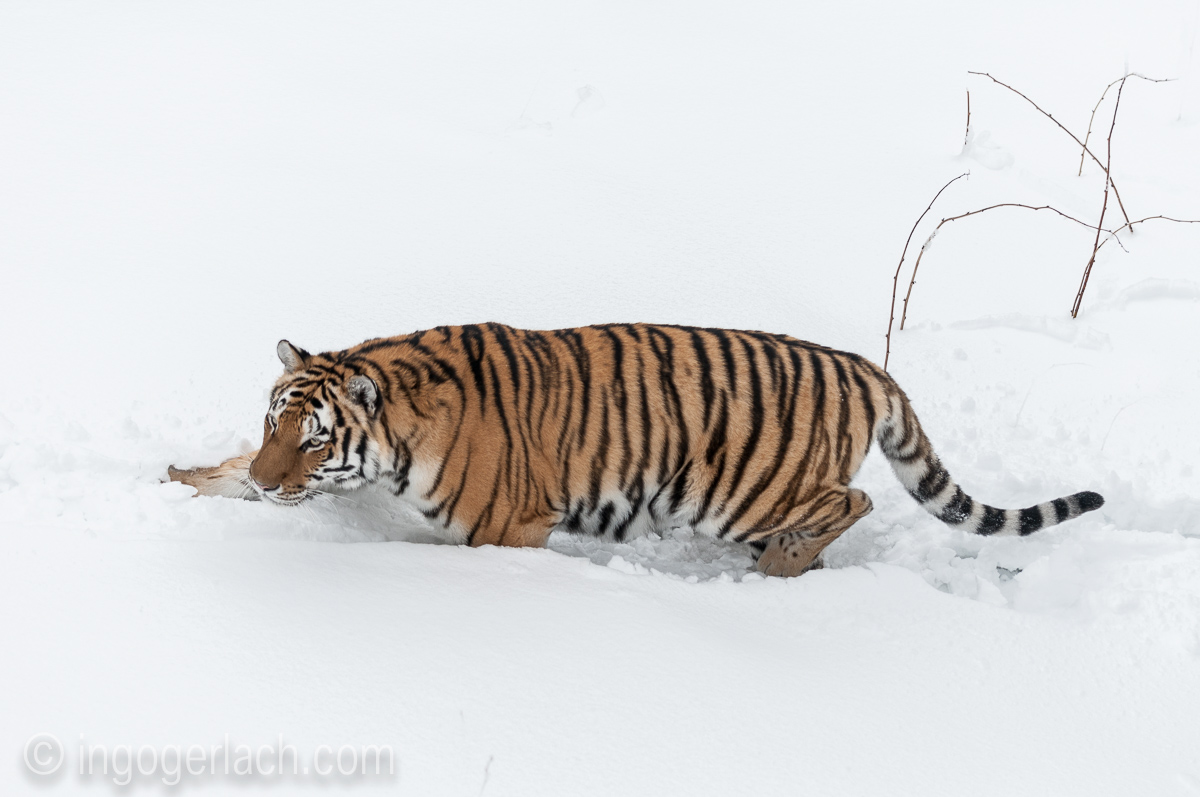 Sibirischer Tiger_IGB4163