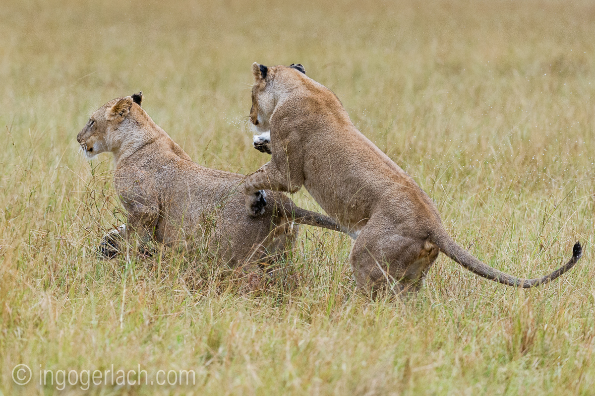 Löwen: Kampf der Giganten_D3S4039