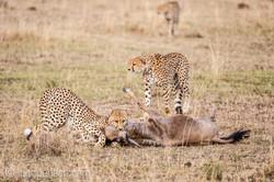 Geparden auf Jagd_IG37620