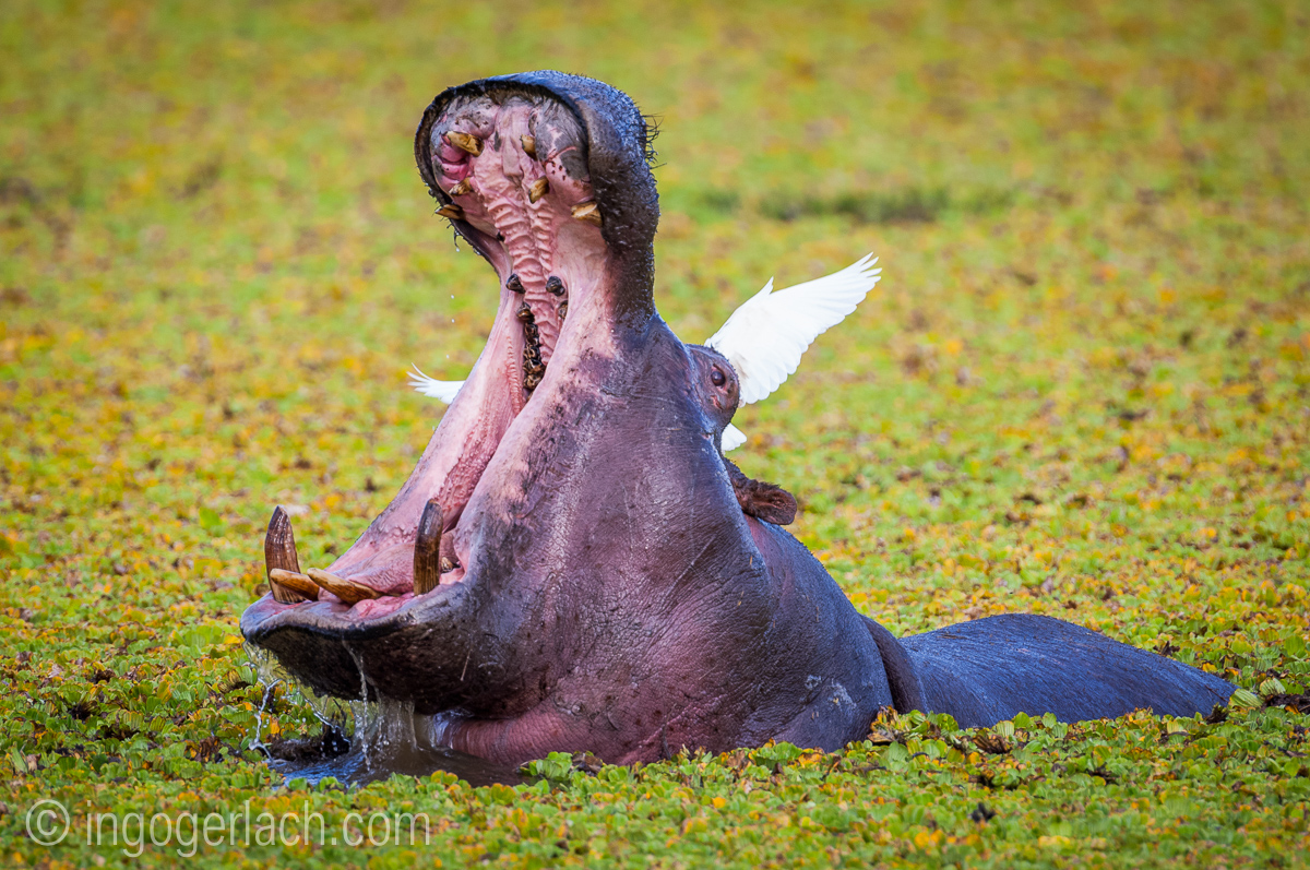 Flusspferd im Salat_IWG0085