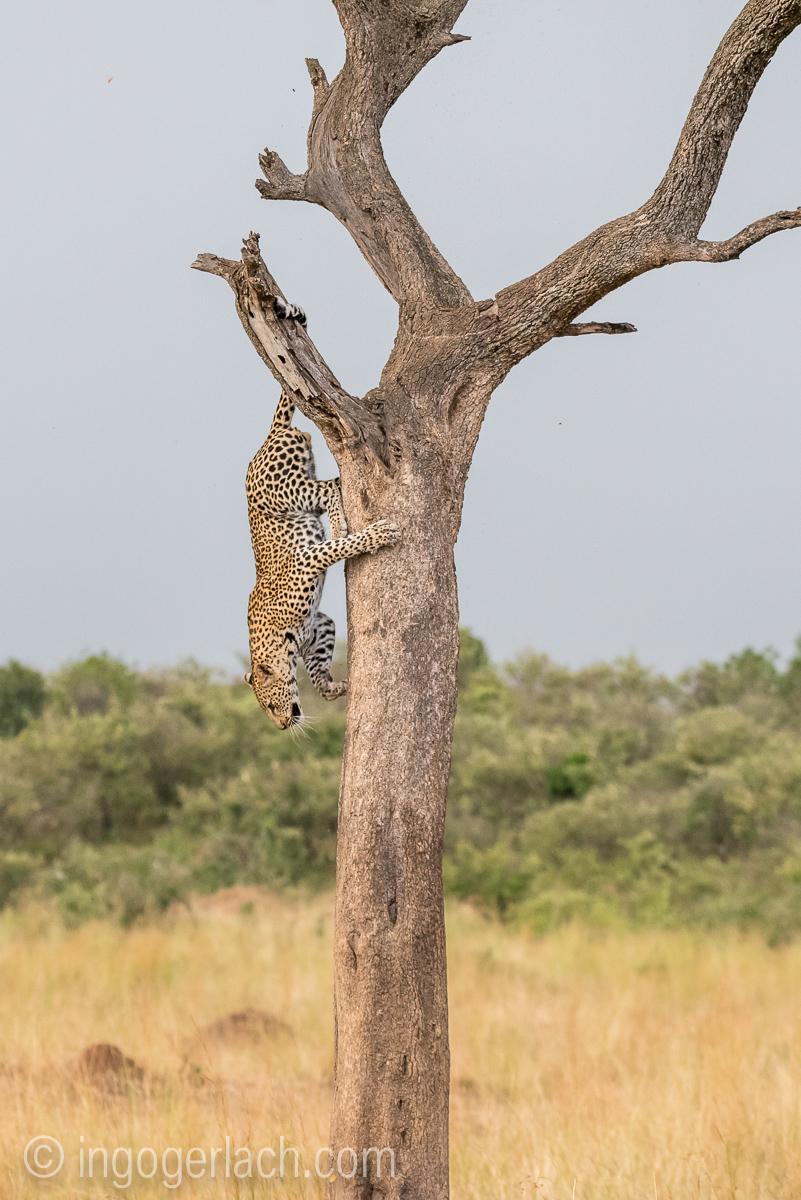 Leopard_IG7_3480