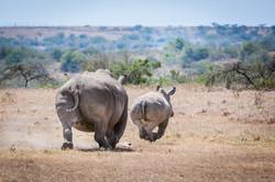 Nashorn © Ingo Gerlach_IWG5214