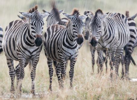 Meine nassen Zebras in der TIMES...