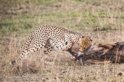 Geparden auf Jagd_IG37606