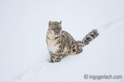Schneeleopard_Snowleopard_D4N_6323
