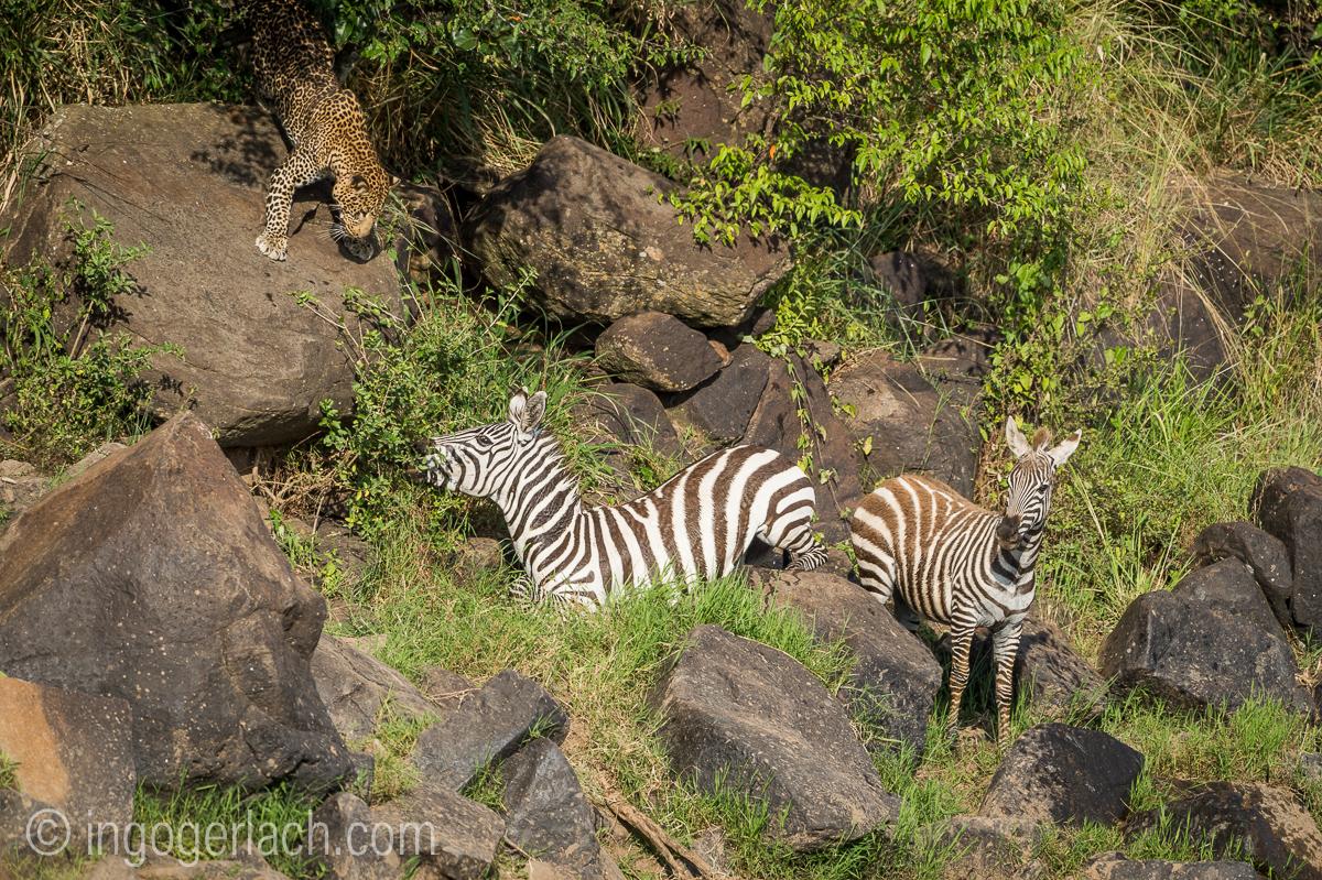 Leopard_Krokodil_Zebra_D4N_4393