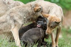 Timberwolf und Grauwolf_IGB7988