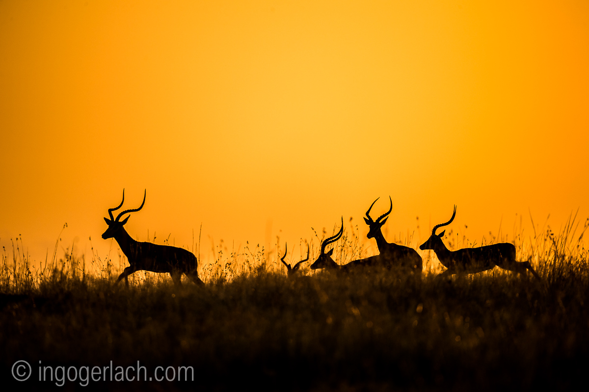 Impala at sunrise_D4N_2691