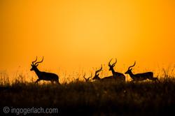 Impala at sunrise_D4N_2691