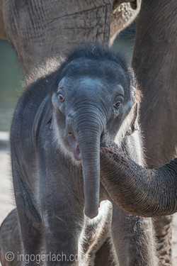 Baby_elephant_Zoo_Cologne_D50_2812