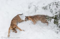 Sibirischer Tiger_IGB4191